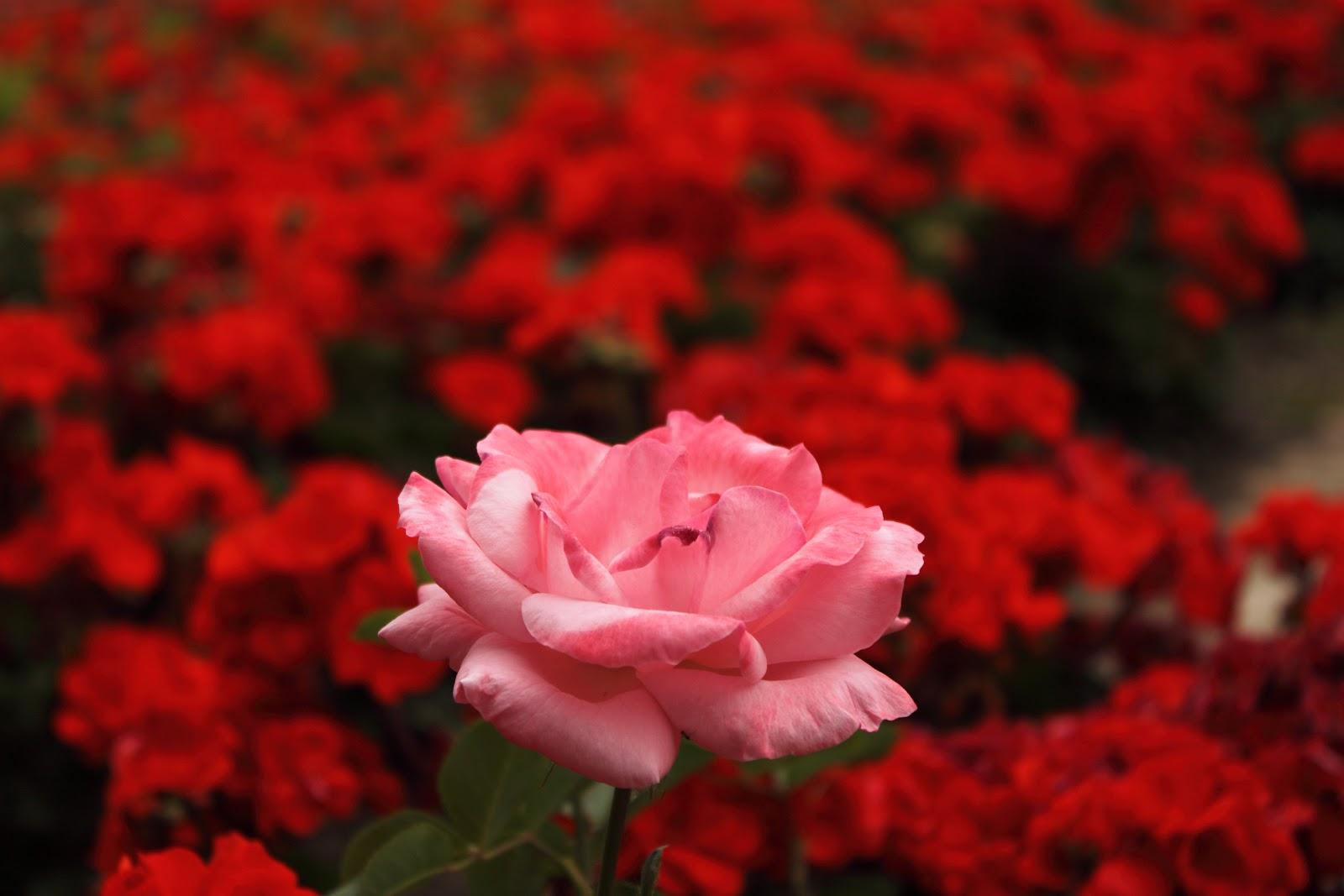 Related keywords suggestions for jardines de rosas rojas - Jardines con rosas ...