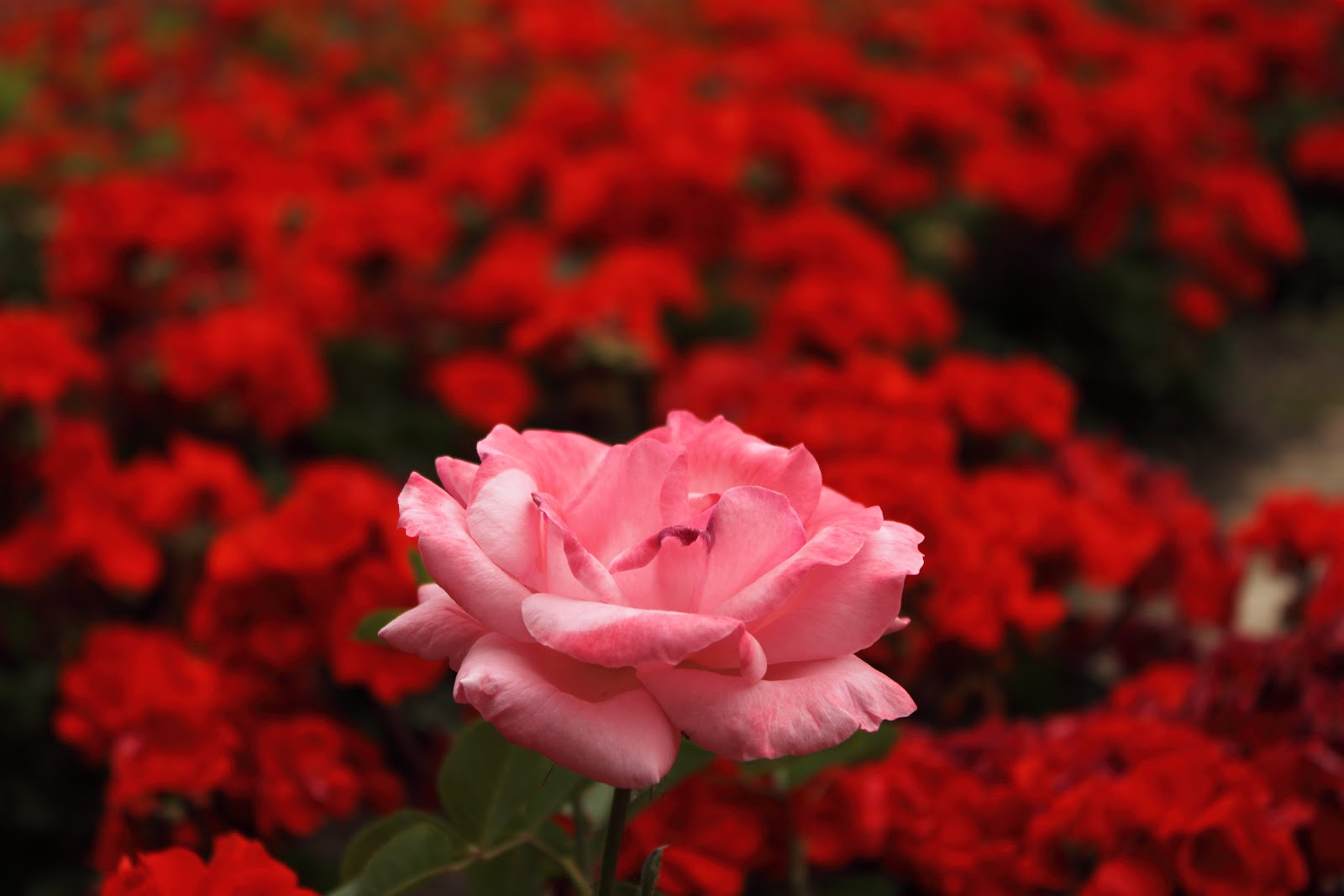 Related keywords suggestions for jardines de rosas rojas for Catalogo de flores de jardin