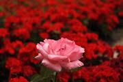 Fotos de rosas rojas para regalos parason imágenes full DH . fotos de rosas para regalos