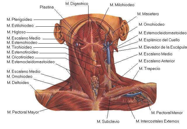 Cuerpo sano; recibo Osteopatía Profesional: Síndrome de escalenos ...