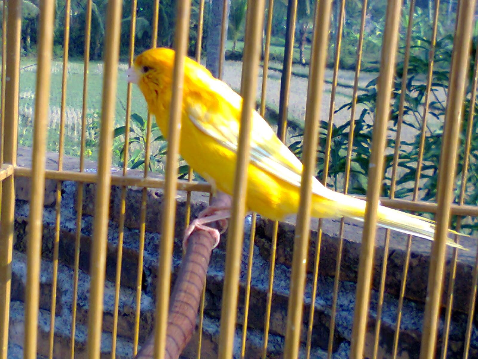 Burung Kenari Cantik