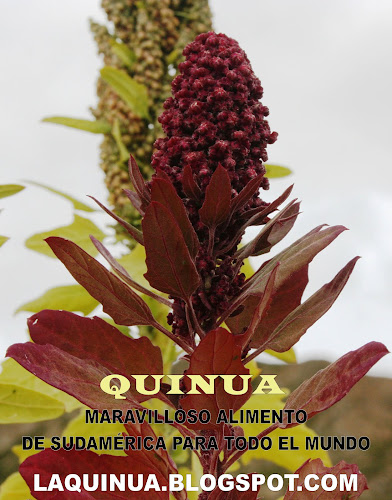 QUINUA EL GRANO DE ORO