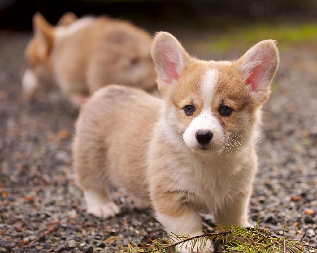 1. Corgi Puppies