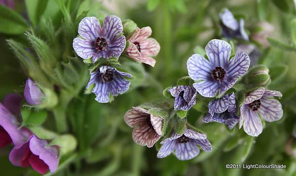 violet-purple veined wildflower