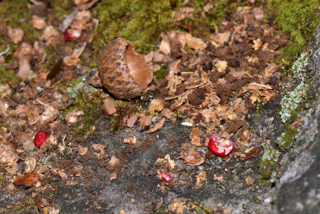 wintergreen berries among debris of squirrel feeding sign