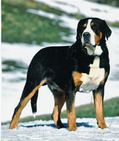 About Greater Swiss Mountain Dog Greater Swiss Mountain Dog Exercise Requirements