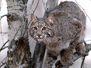 ملف كامل عن اجمل واروع الصور للحيوانات  المفترسة   حيوانات الغابة  21