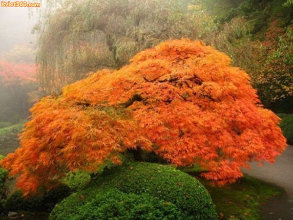 Portland, Oregon Japanese Garden – A bright orange-red lace-leaf maple