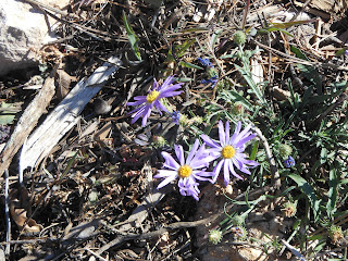 Native Grand Canyon Flowers