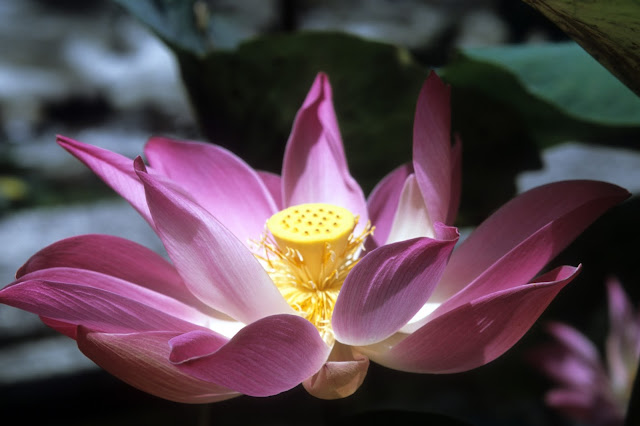 lotus flower, Buddhism