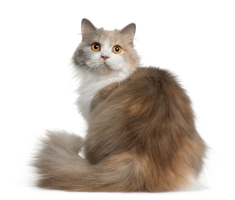 Types Of Long Haired Cats With Pictures