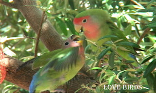 lovebirds like to feed on fresh and organic foods