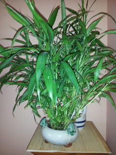 Bamboo Palm or Reed Palm plants (Lucky Bamboo)  clean indoor air pollution removing the harmful VOCs formaldehyde, xylene, and toluene, making air safer to breathe.
