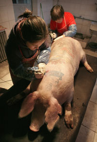 Tattoos bezz the man who tattooed pigs for Pig skin for tattooing