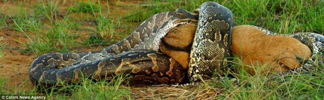 photo ular terbesar di dunia