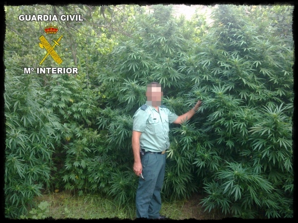 Kannalbis las plantas de marihuana m s altas y frondosas for Plantas marihuana interior