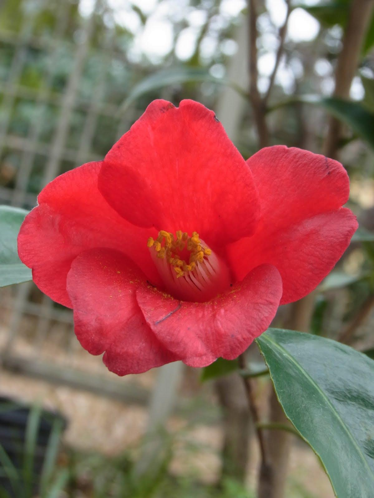 Kouya Komachi Camellia japonica