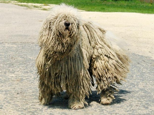 Zoo Animals: Funny Komondor Dog Imges Komondor Dog Pictures