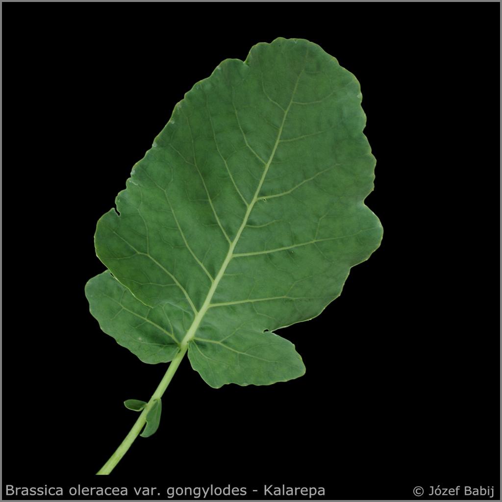 Brassica oleracea var. gongylodes leaf from the top    - Kalarepa  liść z wierzchu