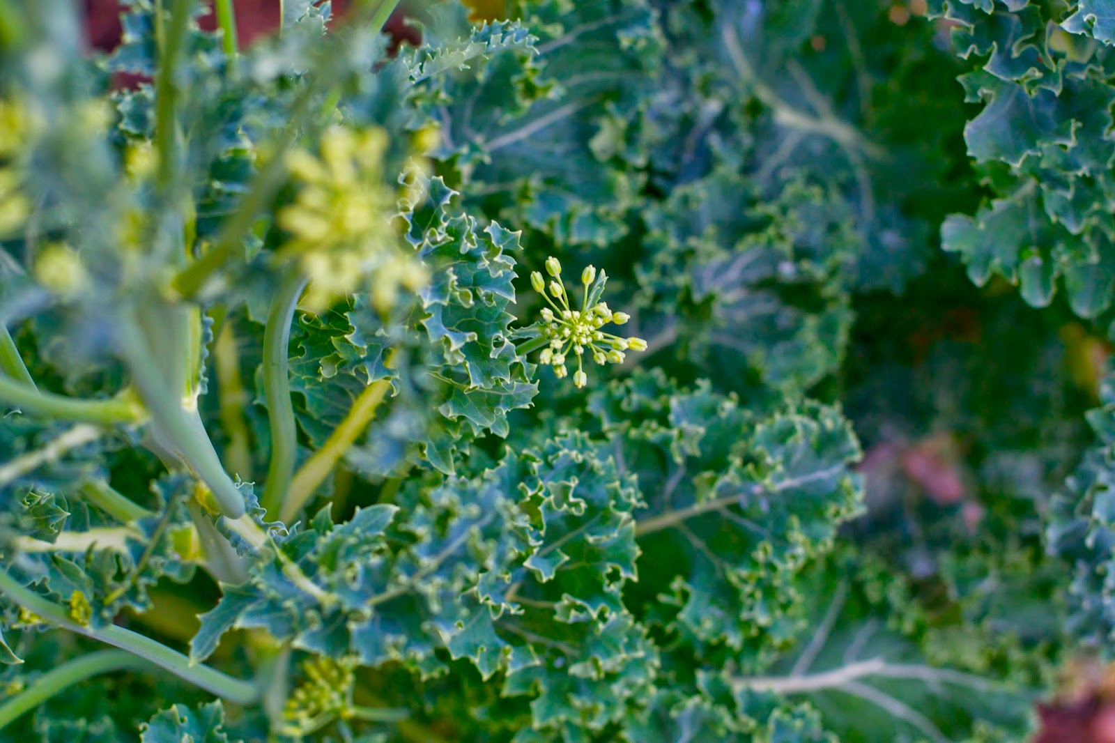 This kale has turned into a giant bush, almost as tall as me!