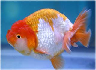 catatan shuhaib jenis jenis ikan maskoki yang menarik