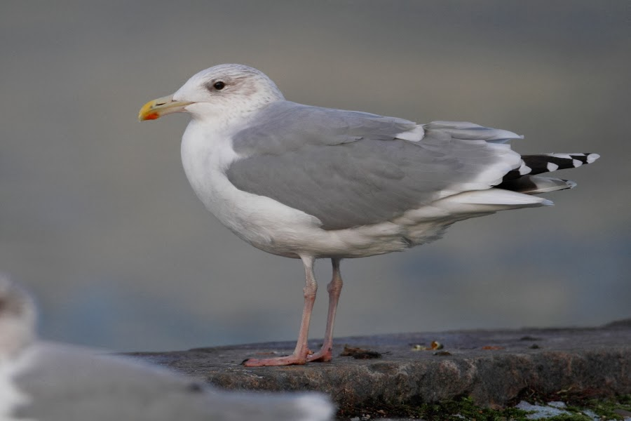 two blog posts about adult vega gull which were published by chris gibbins here and here but besides eye color it was a rather ordinary herring gull