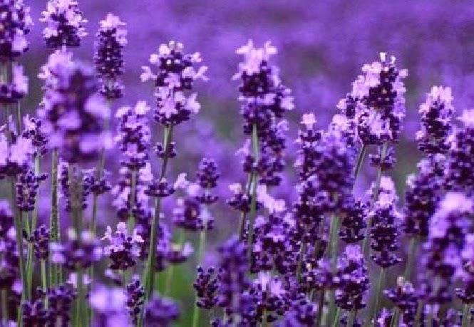 Aroma Relaksasi Alami Untuk Usir Stres