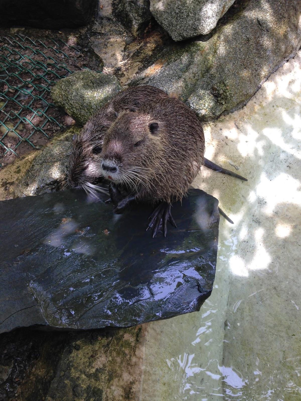 Castor en el Parque de los animales Pirenáicos
