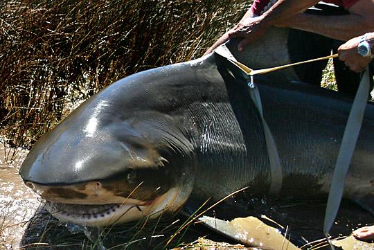 Os maiores tubarões já capturados pelo mundo