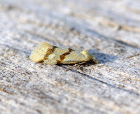 Latest New Micro Moth Species - Aethes beatricella