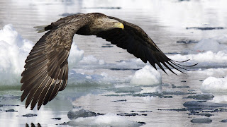 american white tail eagle wallpapers 2013 hd