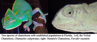 Serpent Research: A Second Species of Exotic Chameleon Established ...