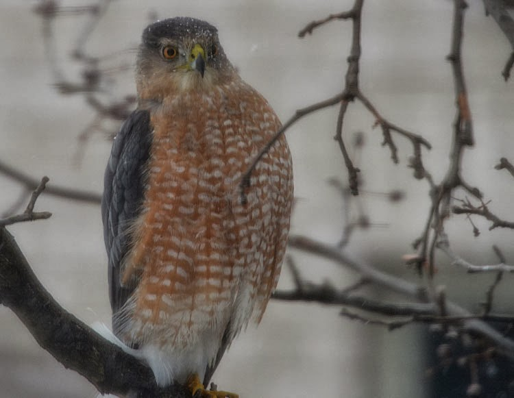 A Cooper's Hawk (Accipiter cooperii) sits outside our kitchen window. His rusty chest and belly and dark blue gray head and shoulders let you know he's an adult.