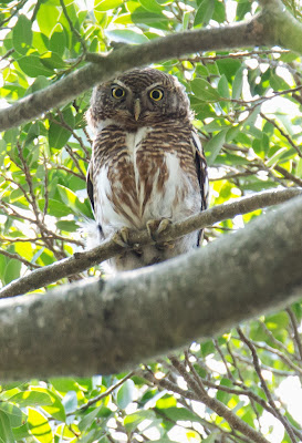 asian barred owlet, hongkong birds