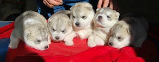 Camada de cachorros husky Bichiloba & Lobezno