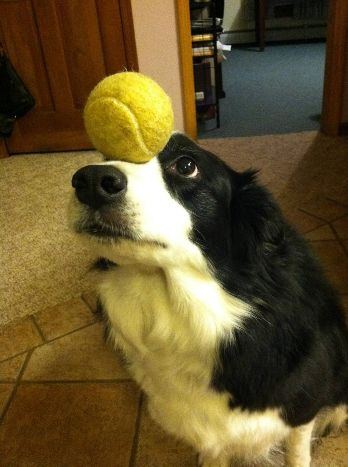 Zelda the border collie balancing things on her head, dog balancing things on its head, funny dog pictures