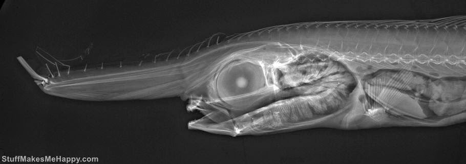 'X-Ray Vision - Fish Inside Out': 20 Astounding X-rays of Real-Life Monsters of the Sea