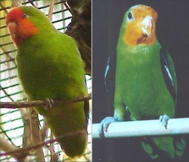 burung lovebird jenis lovebird warna lovebird dan