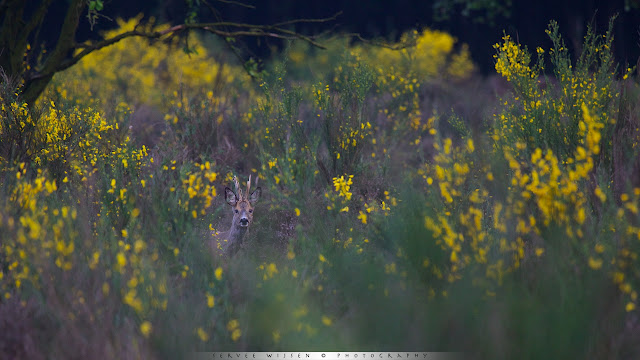 Ree tussen bloeiende Brem - Roe Deer between flowering Broom - Capreolus capreolus