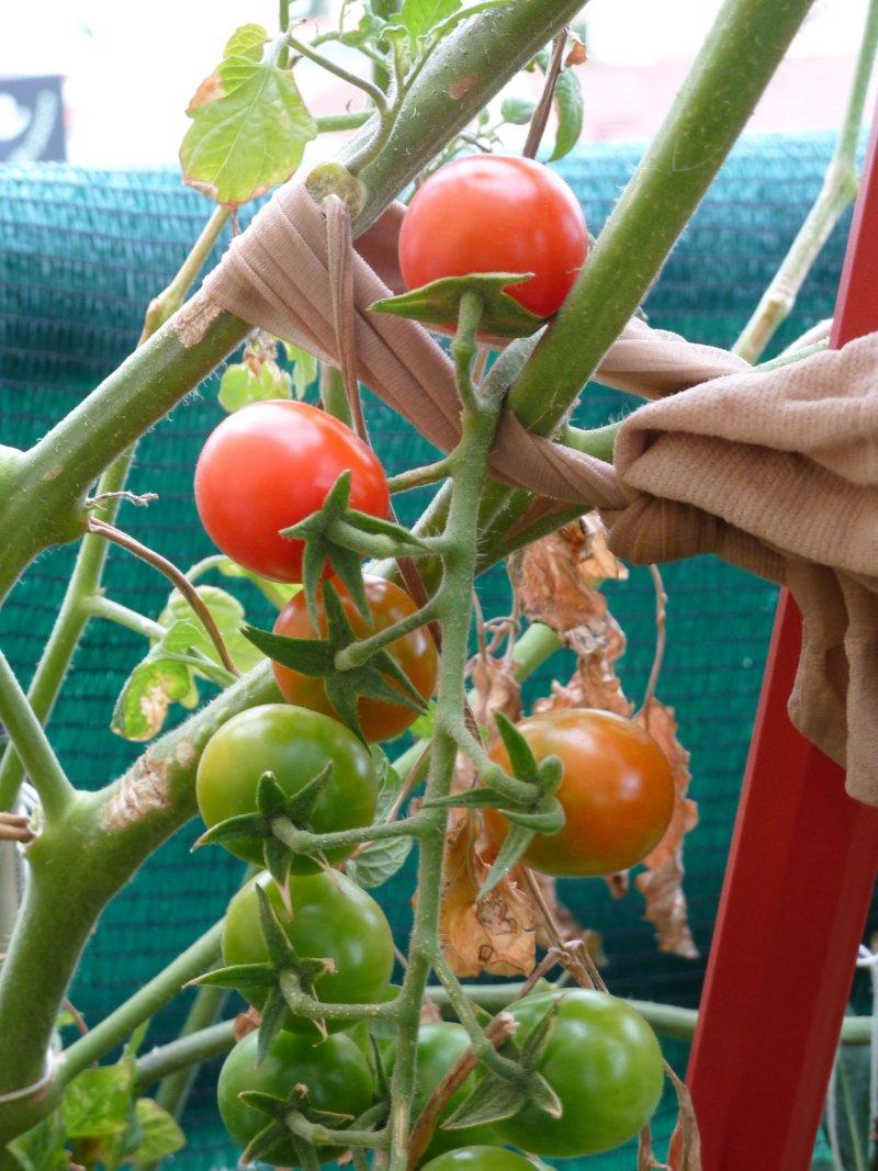 Tomateiro cherry
