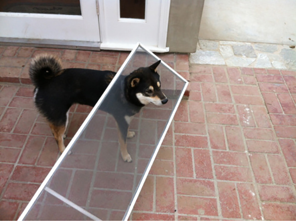 13 tai nạn các em cún Shiba gặp, nhưng rất... hớn hở ảnh 11