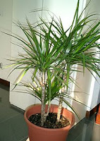 Drachaena deremensis varieties
