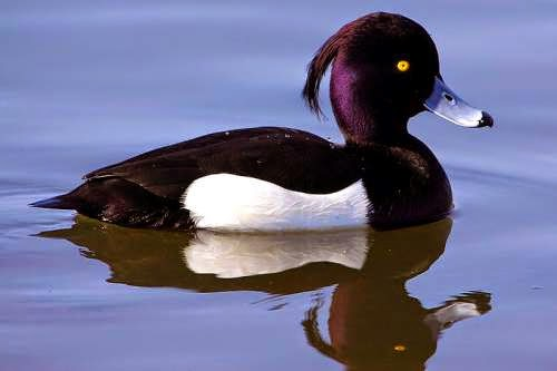 Indian birds - Tufted duck - Aythya fuligula