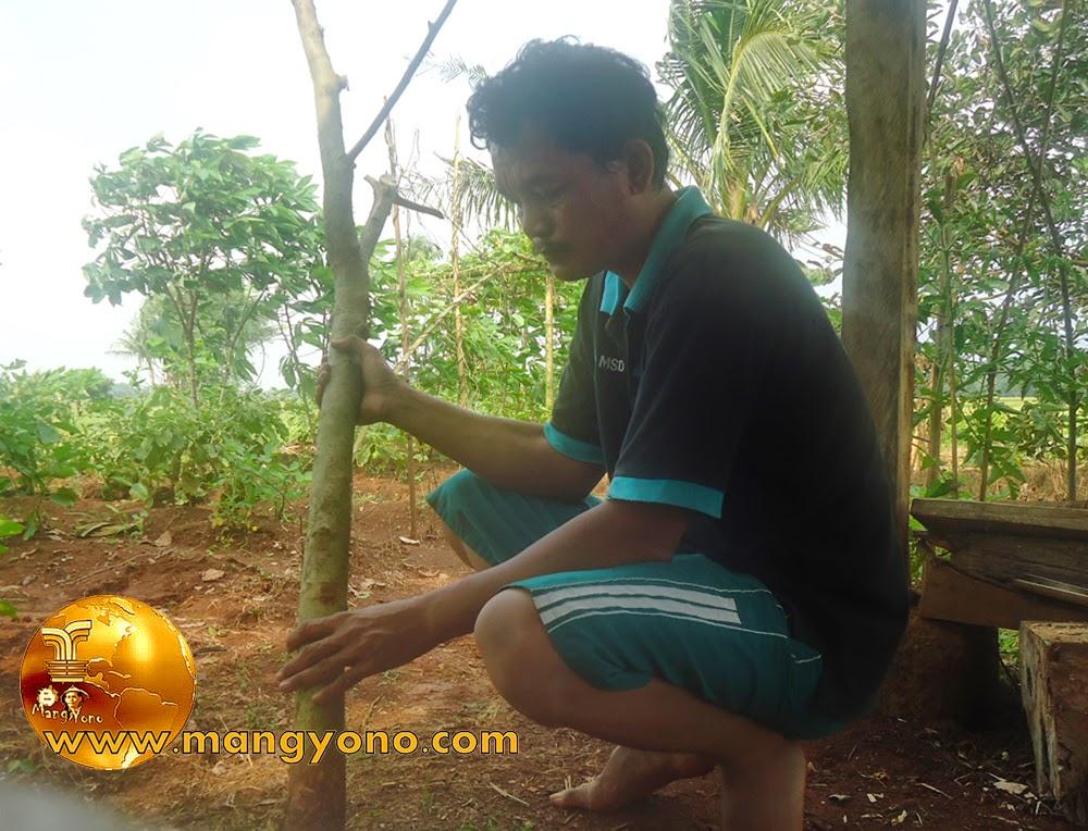 FOTO : Bakalan Bonsai Serut 3.