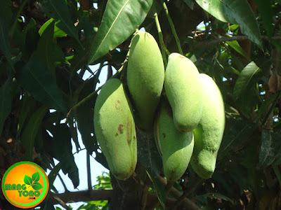 Bagaimana betuk buah mangga golek ini?... Foto ini teh Mangga Golek
