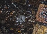 Urbex Baby Drain Rat