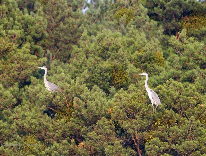 Two Grey Herons on a tree