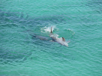 Dolphin swm
