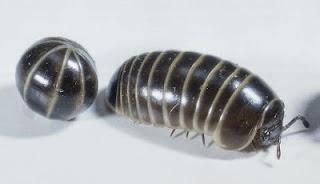 gambar serangga berbuku
