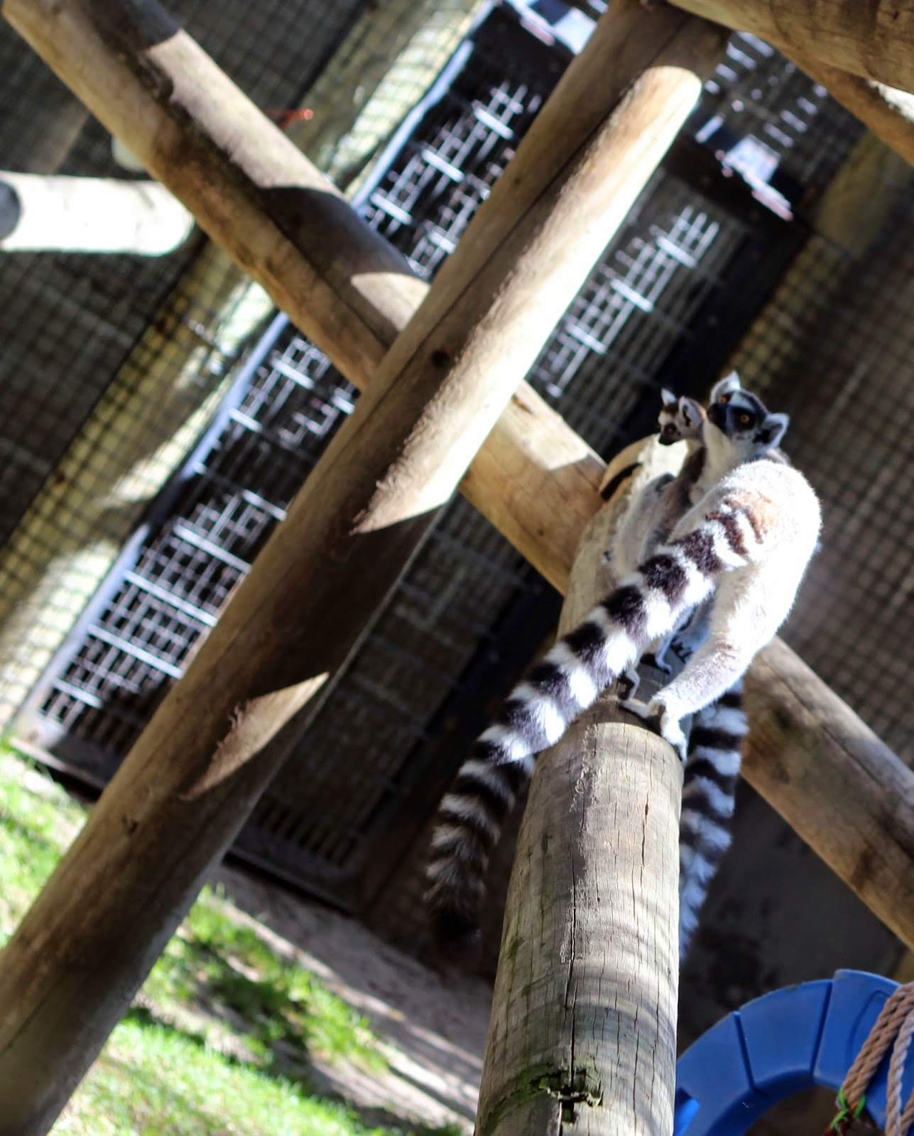 Ring-tailed lemur at the Lincoln Children's Zoo